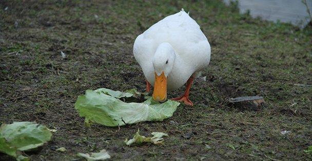 Kaz ve Ördekler Beslendi!