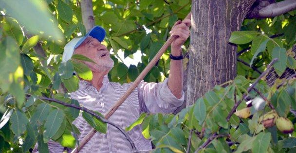 Kocaeli'de bahçesinde yetiştirdiği cevizleri kendi toplayan