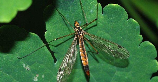 Korkutan sinek zararsız çıktı