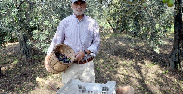 Samanlı Dağları'nın eteklerinde yetiştirilen zeytinin hasadı başladı