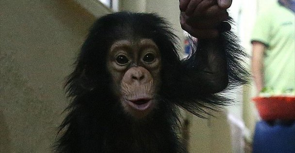 Şempanzeler  Pipet Yapıyor