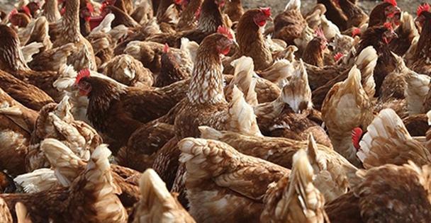 Tavukların zekası şaşırtıyor!