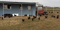 Büyükşehirden çiftçilere gezen tavuk desteği