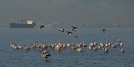 Flamingolar İzmit Körfezini Mesken Tuttu