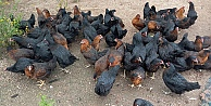 Gezen tavuk desteği için son tarih 3 Temmuz