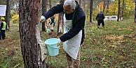 Kefken Ormanlarında reçine üretimi