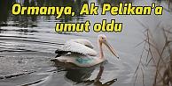 Ormanya, Ak Pelikana umut oldu