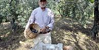 Samanlı Dağlarının eteklerinde yetiştirilen zeytinin hasadı başladı