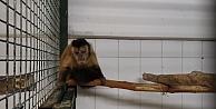 Hayvanat bahçesinden kaçan maymun elektrik akımına kapılınca yakalandı