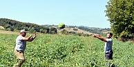 Karamürsel'de karpuz hasadı başladı