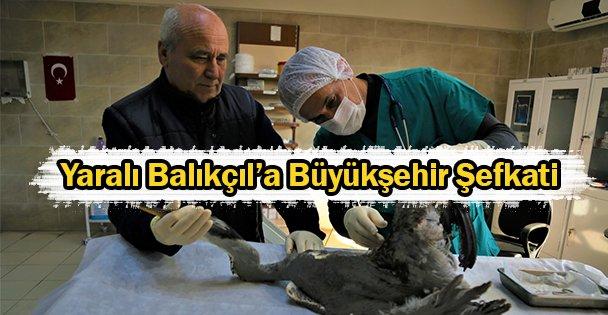 Yaralı Balıkçıl'a Büyükşehir Şefkati